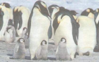 essay about pinguins